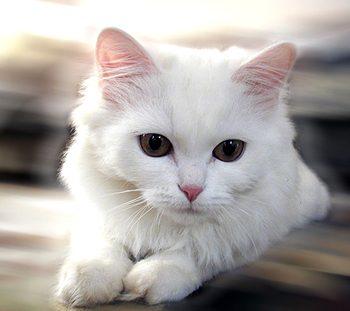 Con mèo – Trọng Hùng Fengshui