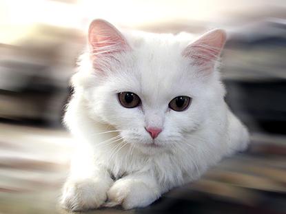 Con mèo - Trọng Hùng Fengshui