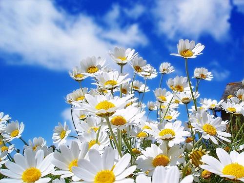 hoa cúc - phong thủy trọng hùng
