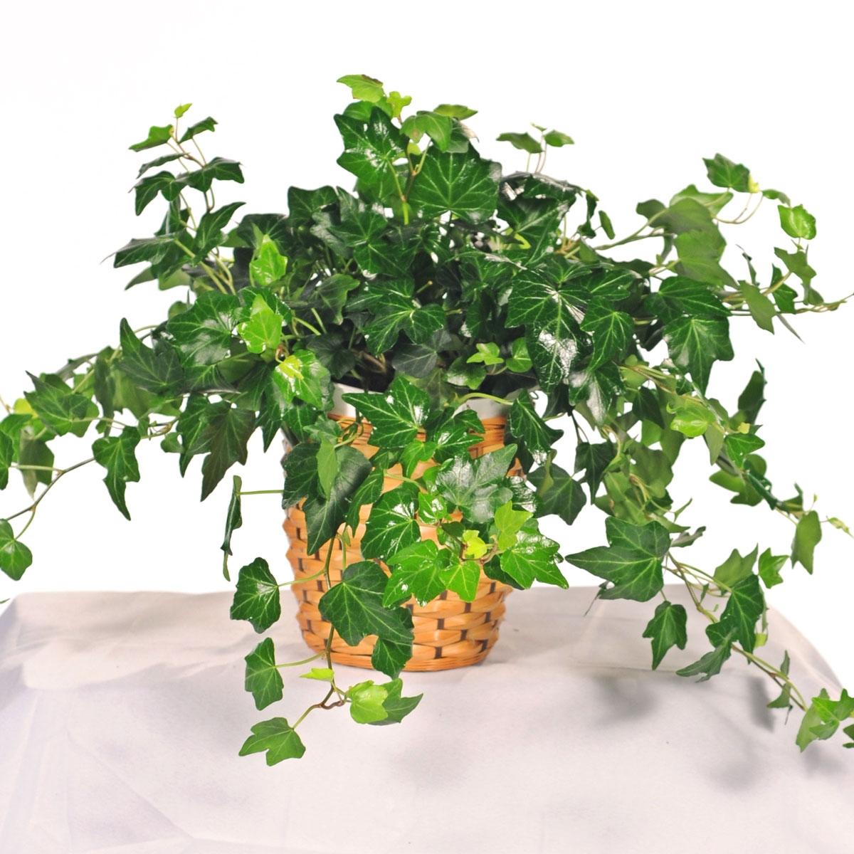 cây thường xuân - phong thủy trọng hùng