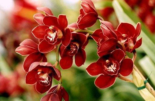 hoa phong lan - phong thủy trọng hùng
