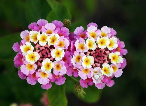 hoa cúc áo - phong thủy trọng hùng