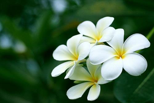 hoa sứ - phong thủy trọng hùng