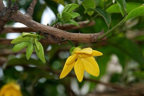 hoa lan móng rồng - phong thủy trọng hùng